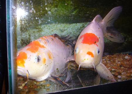 Critter corner koi for Corner fish pond